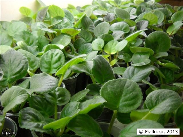 Как посадить листик фиалки