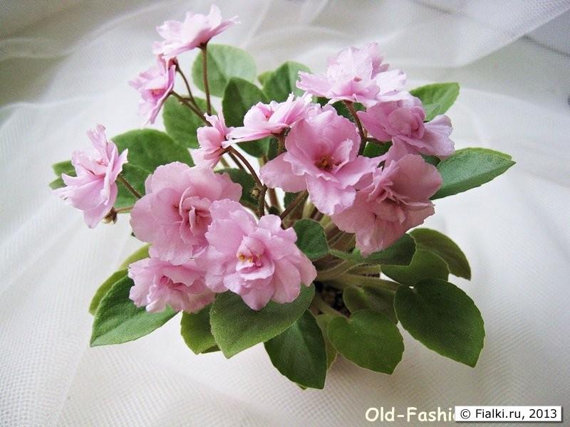 Old-Fashion Rose, LLG/Sorano