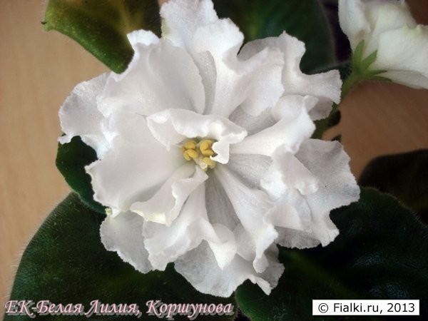 Фиалка белая лилия фото