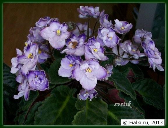 Цве�ение мои� �иалок Слоновая Ко��� looking glassness