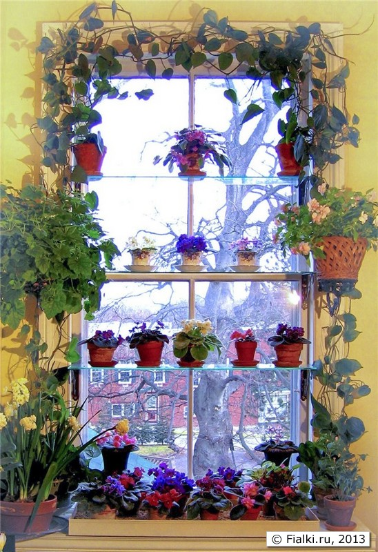 Фото фиалки на окне