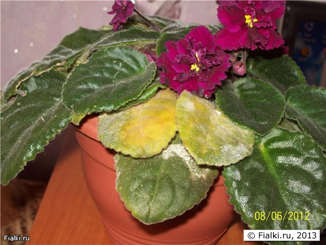 Фиалки почему желтеют листья у фиалки что делать