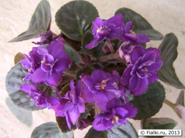 Букет фиолетовых фиалок фото цветов