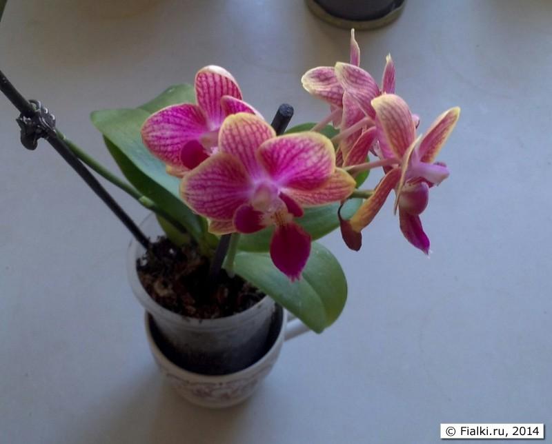 расцветки орхидей фаленопсис