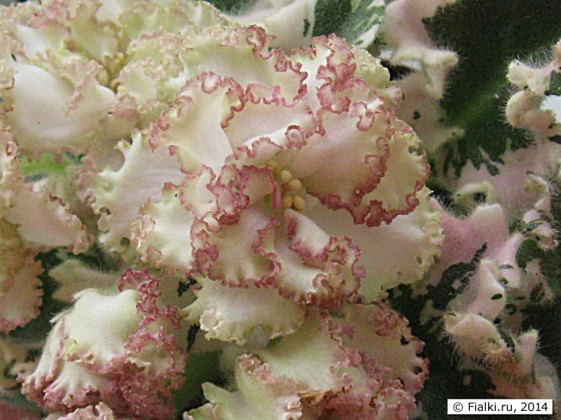 Каприза цветок
