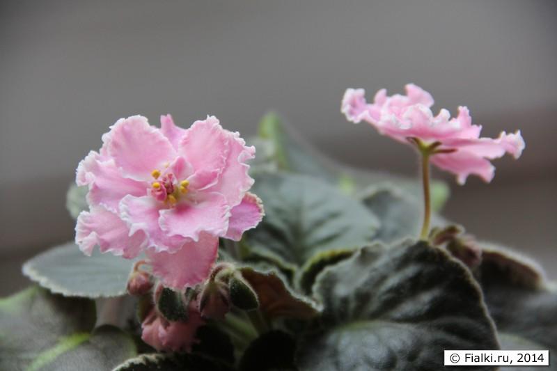 фото акварель фиалок с сорта розовая