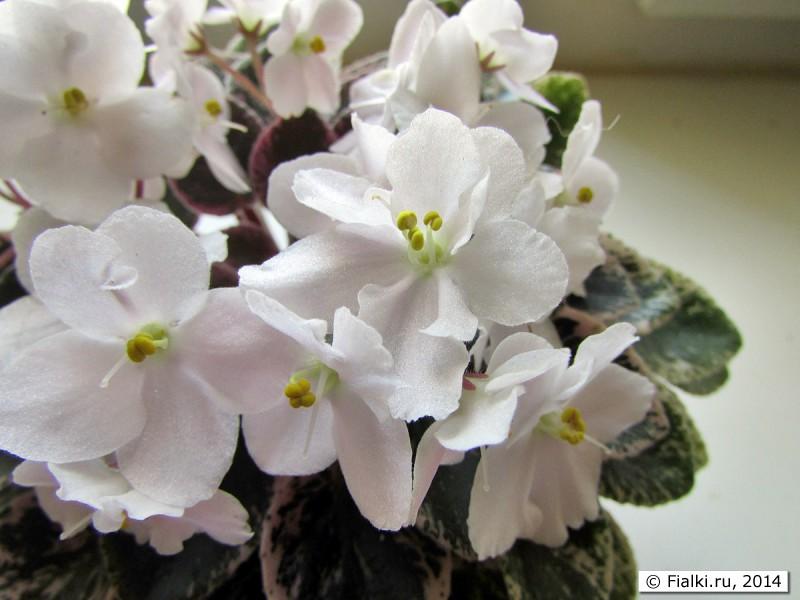 Ness spring blush (d ness), геснериевые от ulmo, фиалки, форум