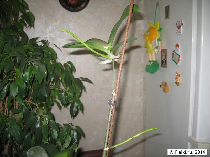 Что сделать чтобы орхидея пустила цветонос