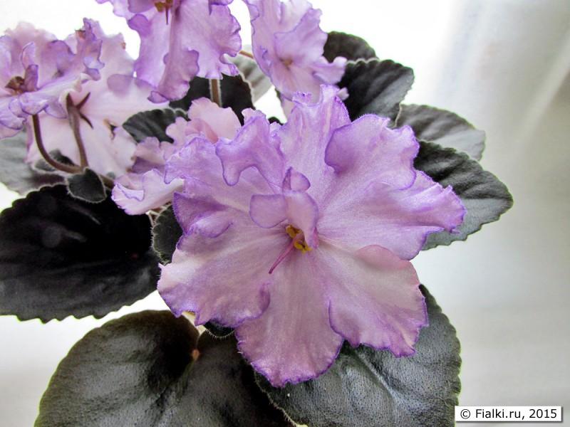 Dn-Fleur ***