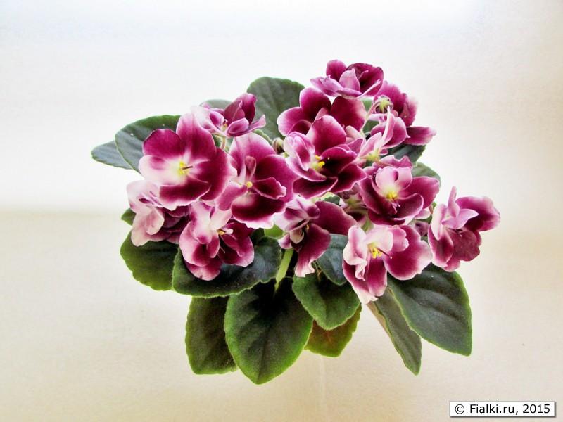 фиалка mac's southern springtime фото