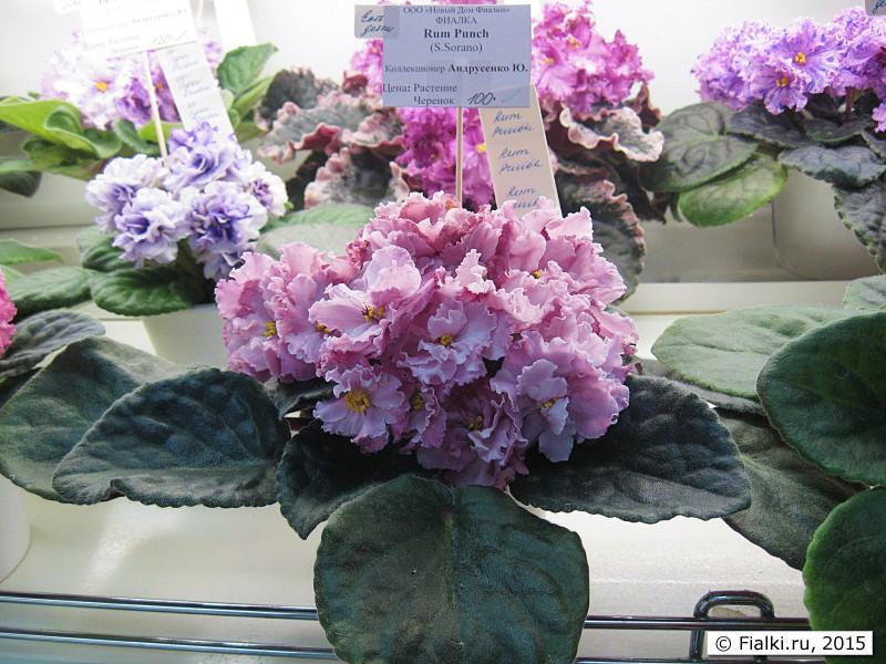 Ле марципановая роза фиалка фото