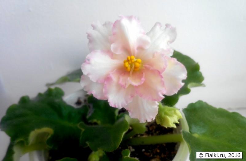 Sunkissed Rose