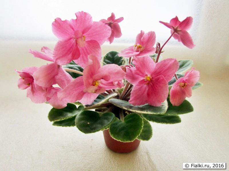 Колокольчики цветы сорт 88
